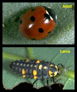 Life stages of Coccinella septempunctata