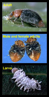 Life cycle of mealybug destroyer
