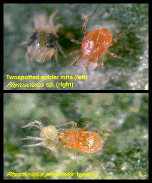 spider mite life cycle