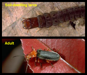 Life stages of soldier beetles