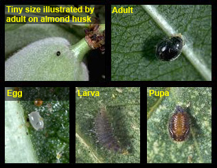 Life stages of Spider Mite Destroyer