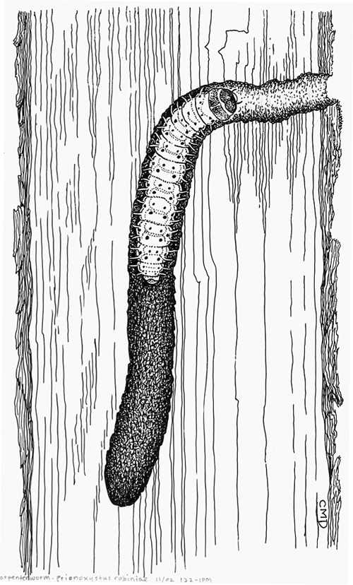 Mature carpenterworm, Prionoxystus robiniae, larva in its tree gallery.