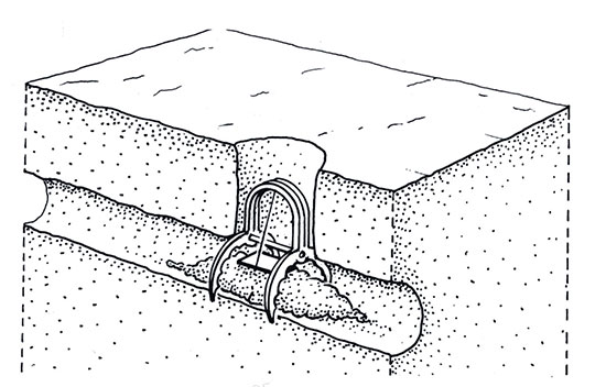 A scissor-jaw trap placed in a mole's main tunnel.