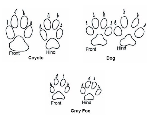 Comparison of the footprints of the coyote, gray fox, and domestic dog.
