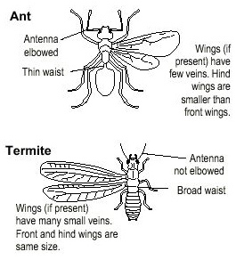Distinguishing features of ants and termites.
