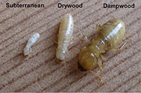 Worker caste of subterranean, drywood and dampwood termites.