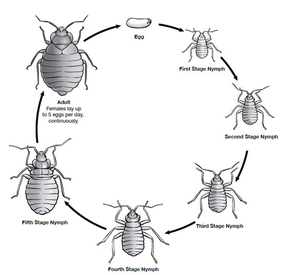 Bed bug life cycle. There are 5 nymphal stages, each requiring a blood meal before molting to the next stage.