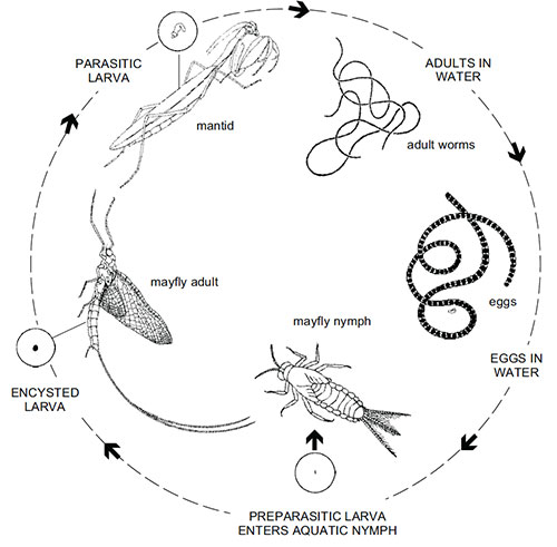 An example of a horsehair worm life cycle.