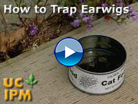 How to Trap Earwigs?