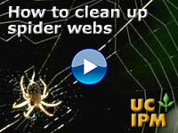 How to clean up spider webs