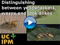 Distinguishing between yellowjackets, wasps, and look alikes
