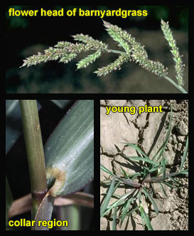 Life stages of Barnyardgrass