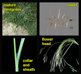 Life stages of Bentgrasses
