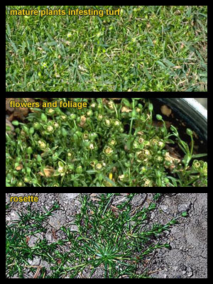 Life stages of Birdseye pearlwort