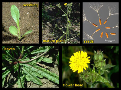 Life stages of Bristly oxtongue