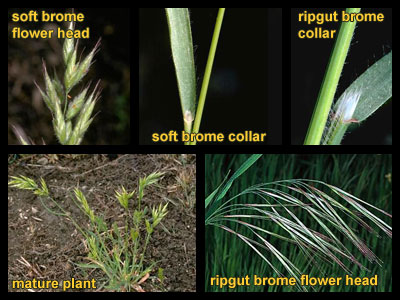 Life stages of Bromegrasses