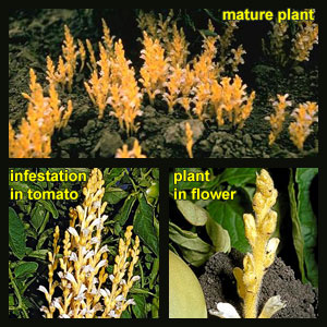 Life stages of Broomrape