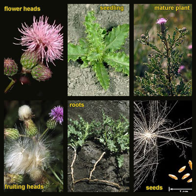 Life stages of Canada thistle
