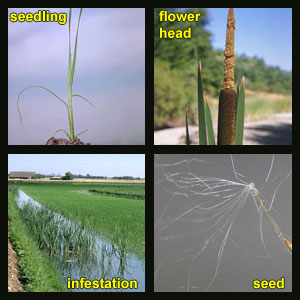Life stages of Cattails
