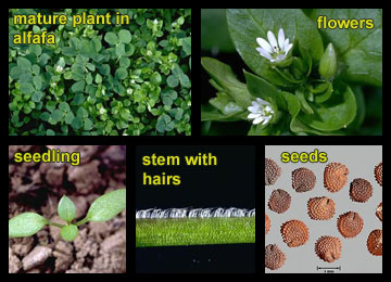 Life stages of Common chickweed
