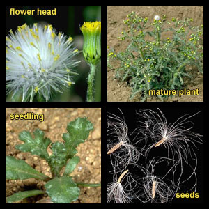 Life stages of Common groundsel