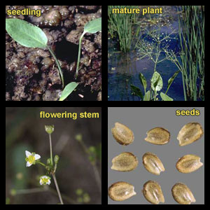 Life stages of Common waterplantain