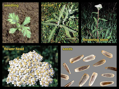 Life stages of Common yarrow
