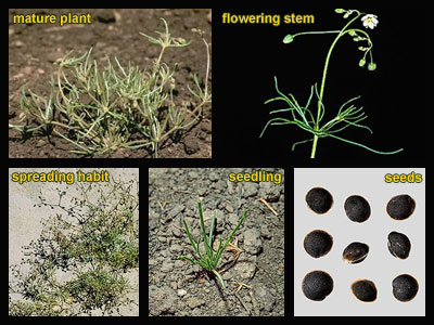 Life stages of Corn spurry