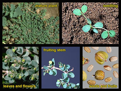Life stages of Creeping spurge