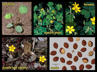 Life stages of Creeping woodsorrel