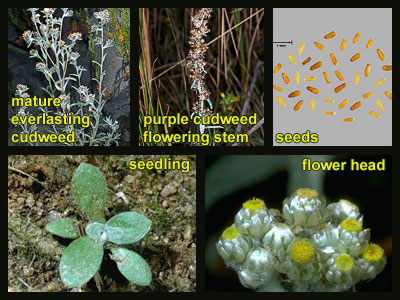 Life stages of Cudweeds