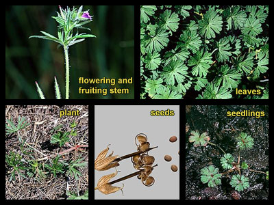 Life stages of Cutleaf geranium