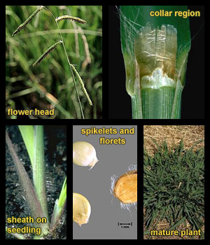 Life stages of Dallisgrass