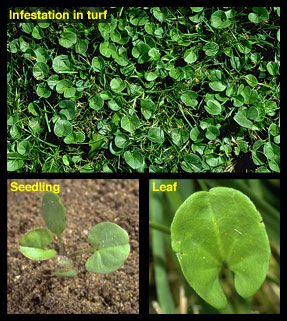 Life stages of Dichondra