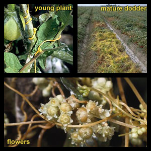 Life stages of Dodder