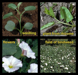 Life stages of Field bindweed