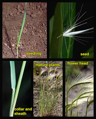 Life stages of Foxtail barley