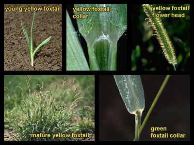 Life stages of Foxtails