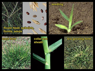 Life stages of Goosegrass