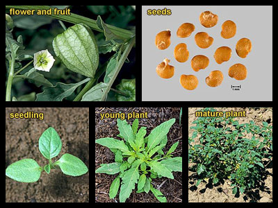 Life stages of Groundcherries