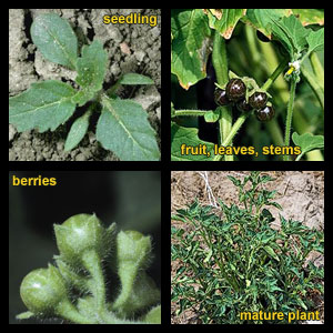 Life stages of Hairy nightshade