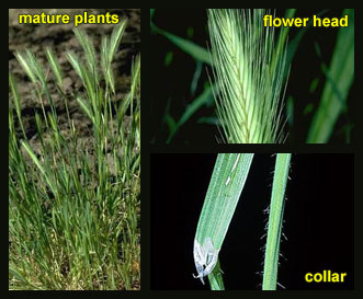 Life stages of Hare barley