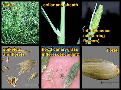 Life stages of hood canarygrass
