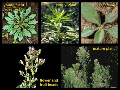 Life stages of Horseweed