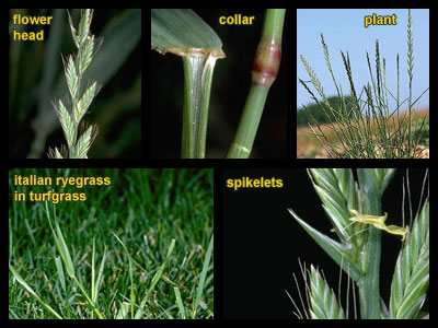 Life stages of Italian ryegrass