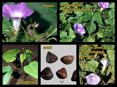Life stages of Japanese Morningglories