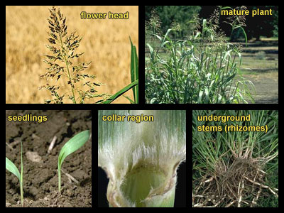 Life stages of Johnsongrass