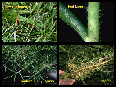 Life stages of Kikuyugrass