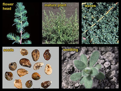 Life stages of Kochia