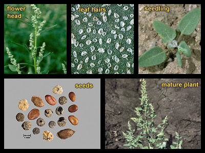 Life stages of Common lambsquarters